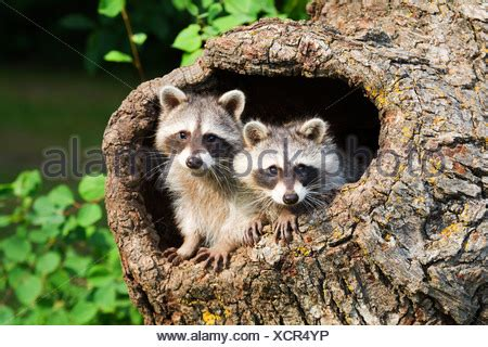 Two Raccoons in a tree hollow Stock Photo: 21799988 - Alamy